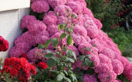 садовая гортензия уход посадка размножение