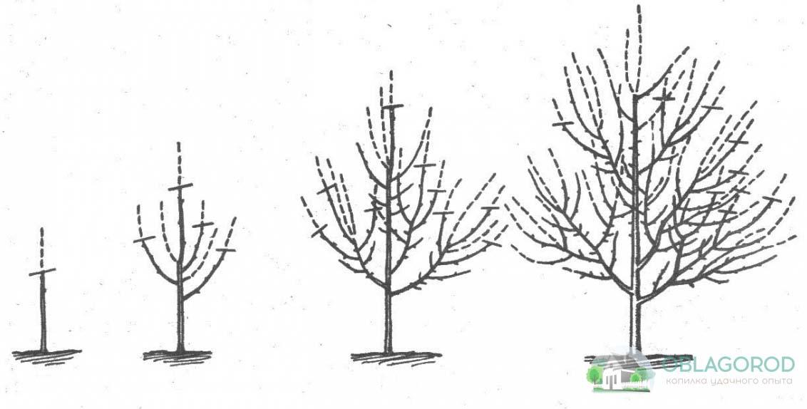 Обрезка молодого растения