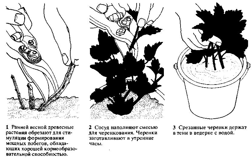 Посадка и размножение фото