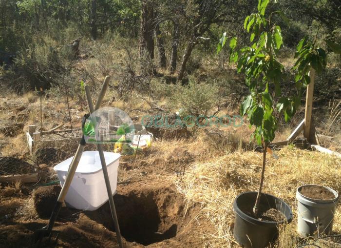 Посадка саженцев вишни –рекомендации садоводов