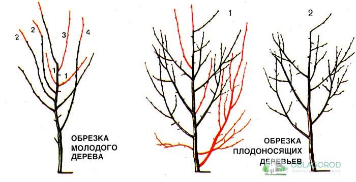 Обрезка взрослого растения