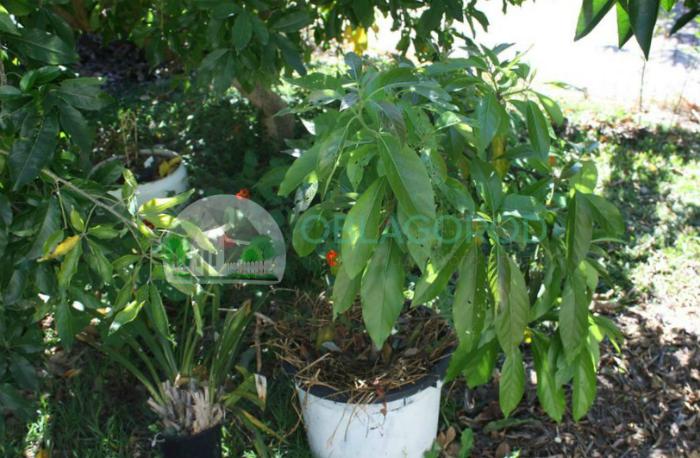 Деревце авокадо и его основные особенности