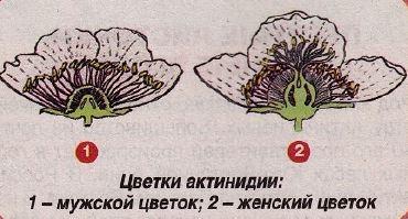 Строение куста актинидии
