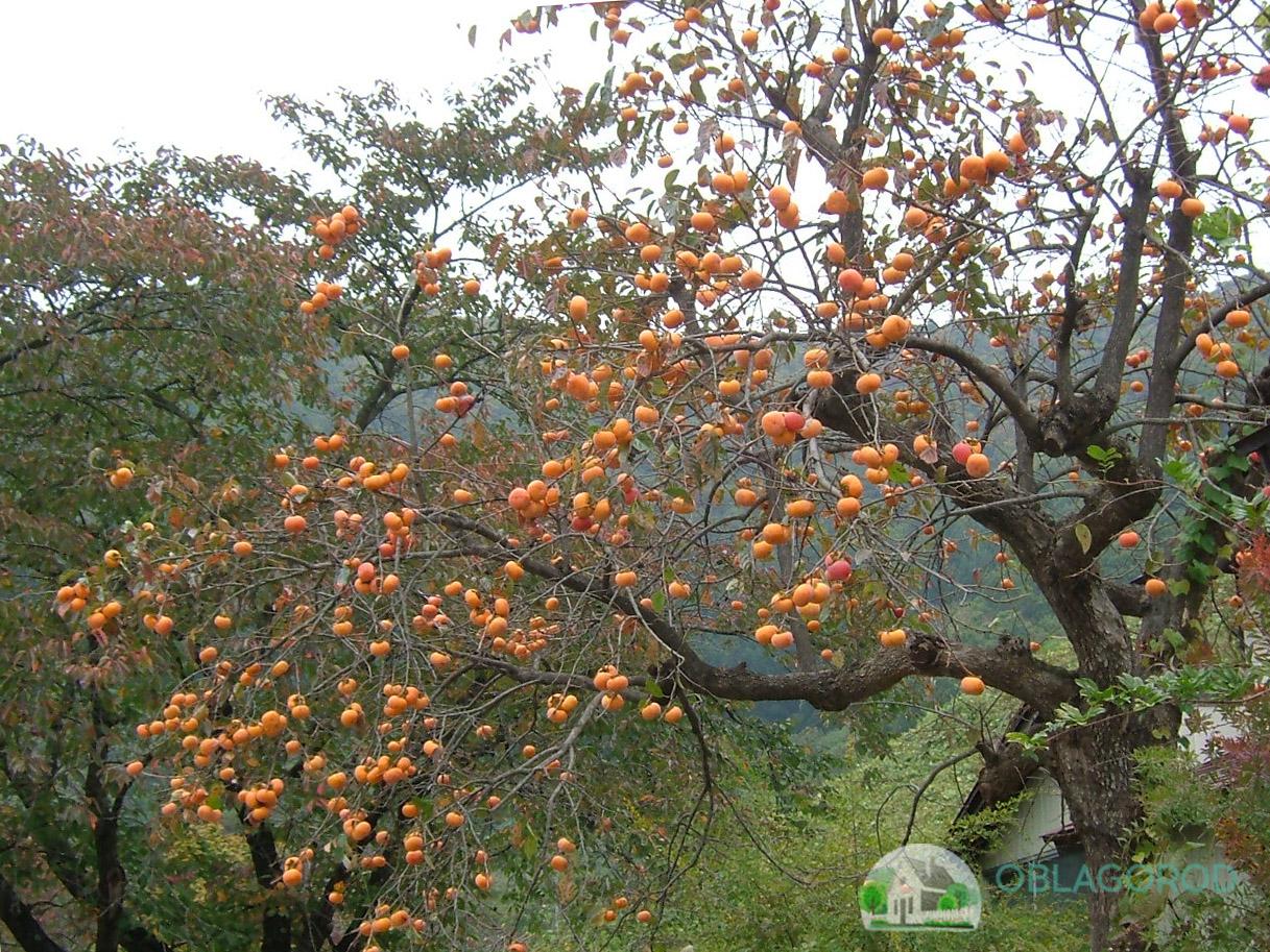 Где и как выращивается хурма?