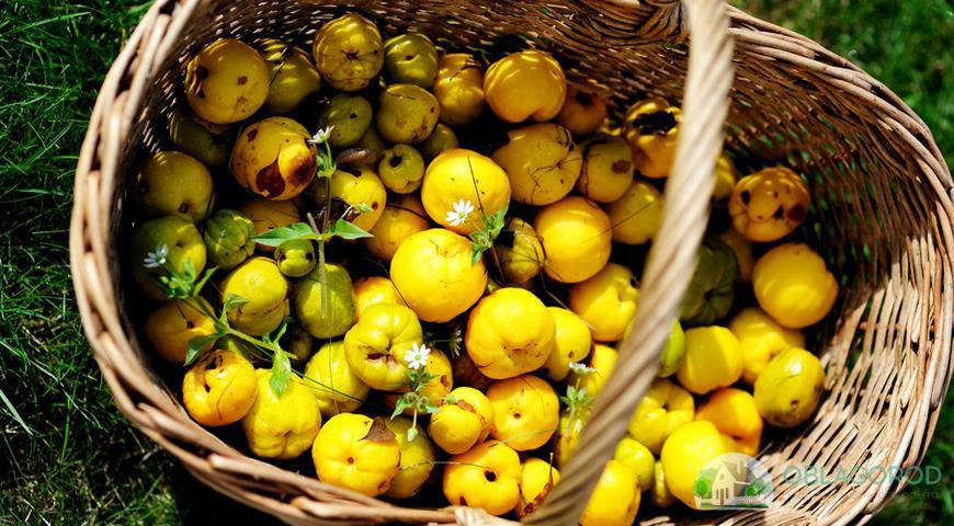 Плоды японской яйвы