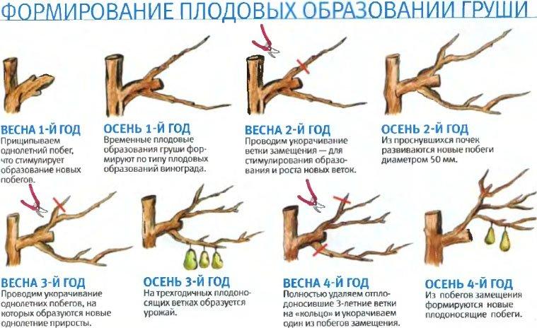 Советы по обрезке и формированию груш осенью и весной