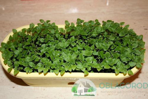 Выращивание мяты в домашних условиях