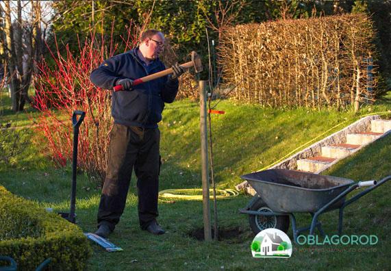 Правила посадки груш – памятка начинающим садоводам