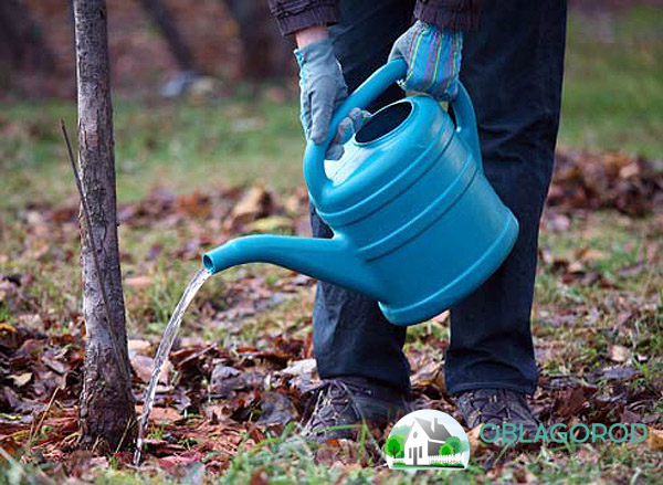 Как ухаживать за деревом – мероприятия по подкормке и поливу