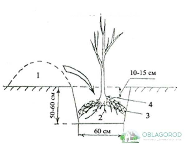 Правила посадки и условия выращивания