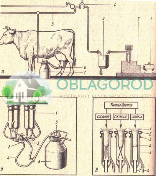 Схема машинной системы доения коров: а – схема доильной установки: 1 – электродвигатель; 2 – ротационный вакуум-насос; 3 – вакуумный баллон; 4 – вакуумметр; 5 – вакуумпровод; 6 – доильный аппарат; 7 – доильное ведро; б - доильный аппарат «Волга»: 1 – доильные стаканы; 2 – коллектор; 3 – вакуумный шланг; 4 – молочный шланг; 5 – пульсатор; 6 – доильное ведро; в – схема выдаивания из соска: 1 – сосок; 2 – кольцо; 3 – выступ кольца; 4 – твёрдостенный цилиндр; 5 – сосковая резина; 6 – вакуумный шланг; 7 – молочный шланг.