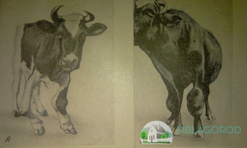 Бруцеллёз у коров