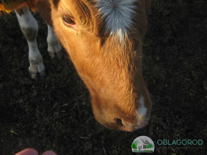 Физиологические показатели у скота и отклонения их от нормы