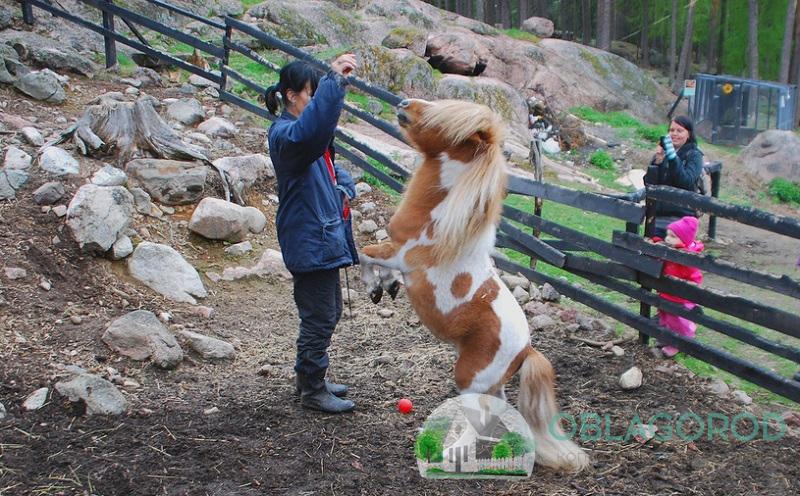 Где используется самая маленькая лошадь в мире