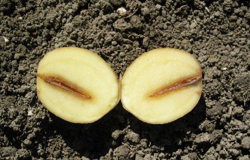 Общие рекомендации во избежание заболеваний картофеля