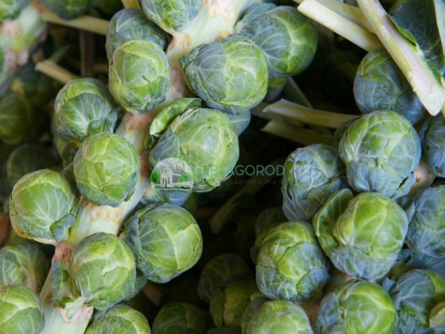 Овощ созревает достаточно медленно, но при этом этот сорт даёт рекордные урожаи