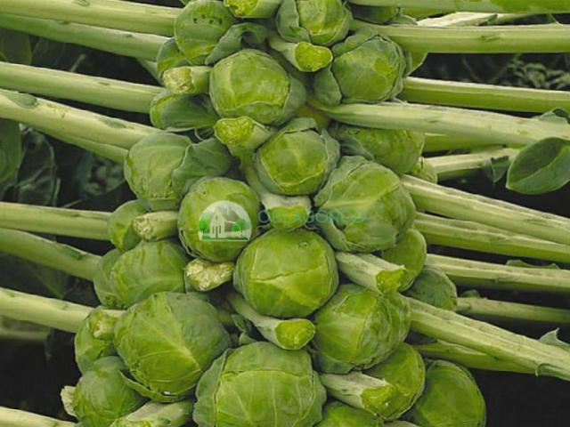 Сорта Брюссельской капусты фото
