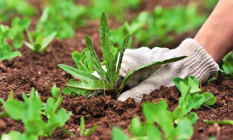 Тщательно прополоть участок, избавиться от сорняков и их корней