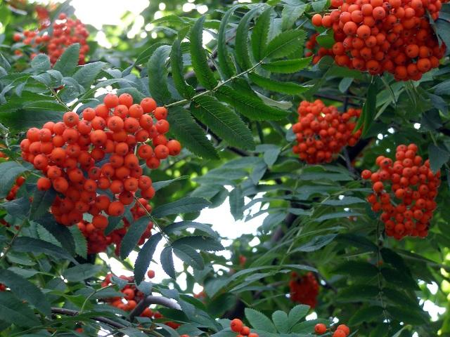 Полезно пересыпать клубни измельченными сухими листьями рябины