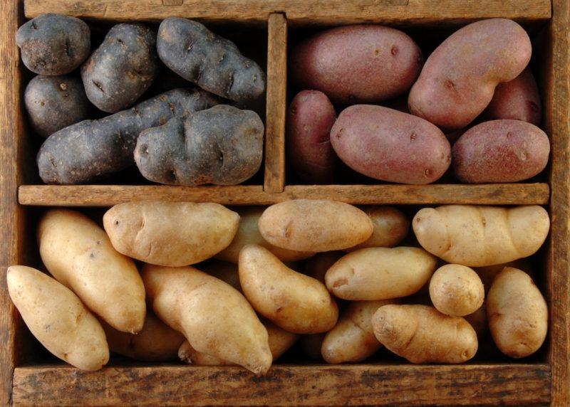 Влияние сорта на сохранность картофеля