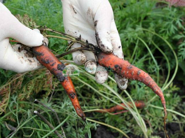 Если выкапывать среднеспелую морковь позже срока, она становится жесткой и безвкусной