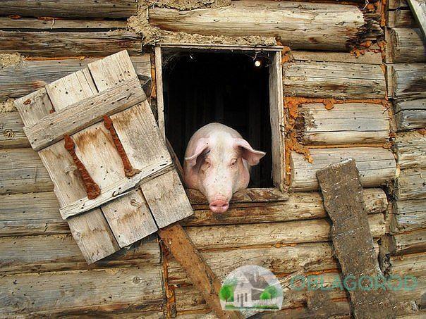 Свинарник обязательно должен быть с окнами
