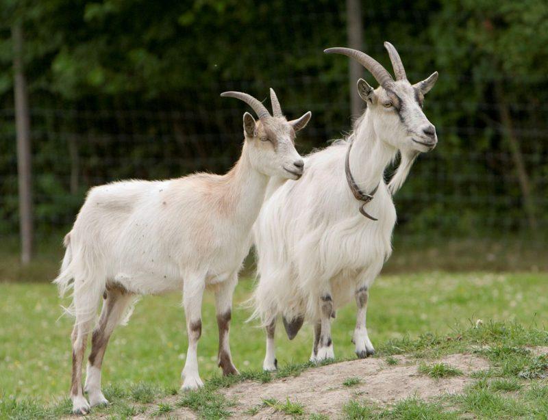 Виды домашних коз