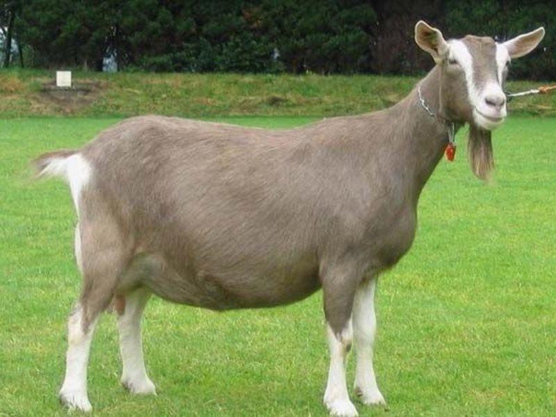 Горьковская коза