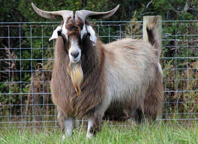Мясные породы коз и их особенности