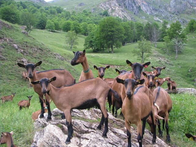 Горные козы и их качества
