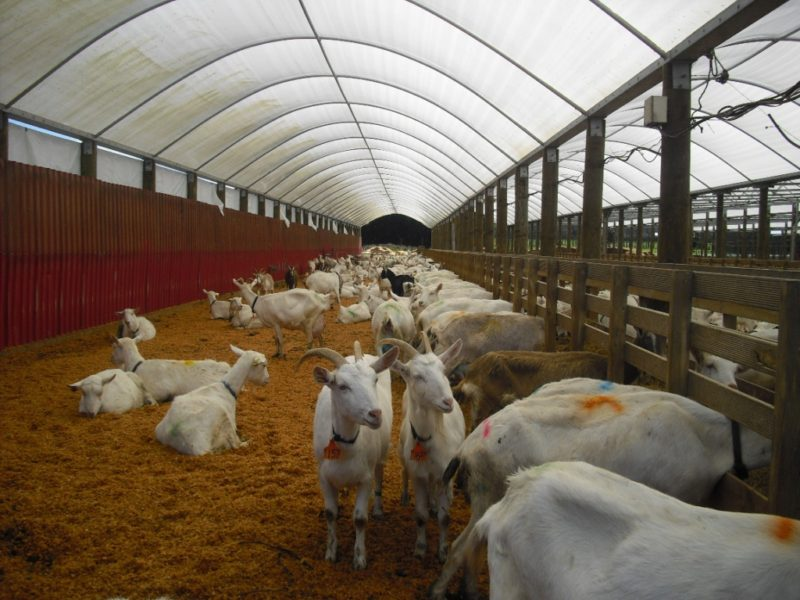 В отличие от коров, коз можно держать в небольших помещениях