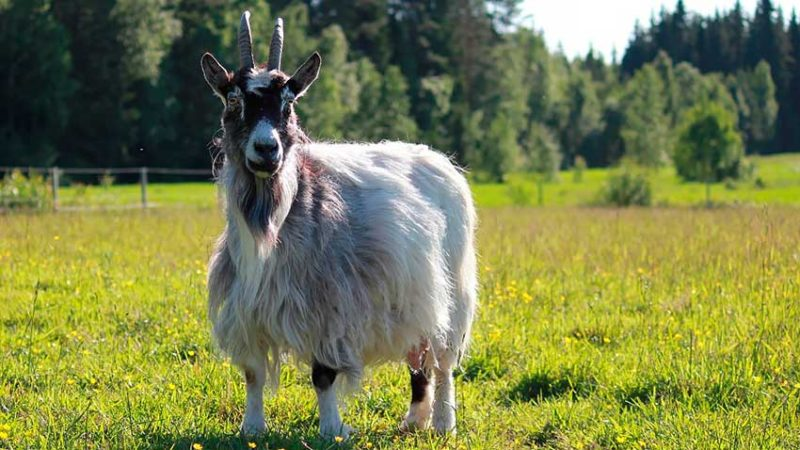 Козья шерсть великолепно удерживает тепло.