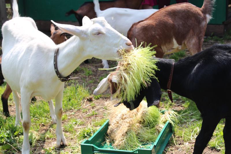 Козы требуют намного меньше корма, места и затрат, чем коровы или даже овцы.