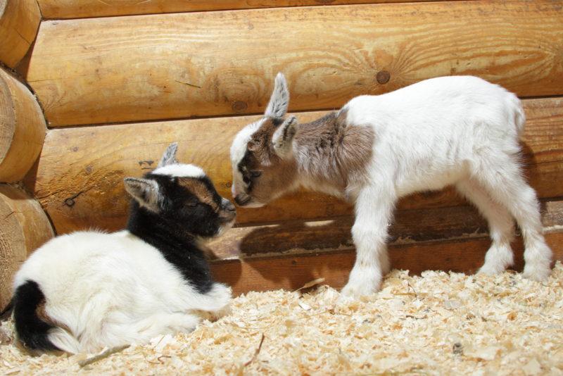 Высокая плодовитость коз