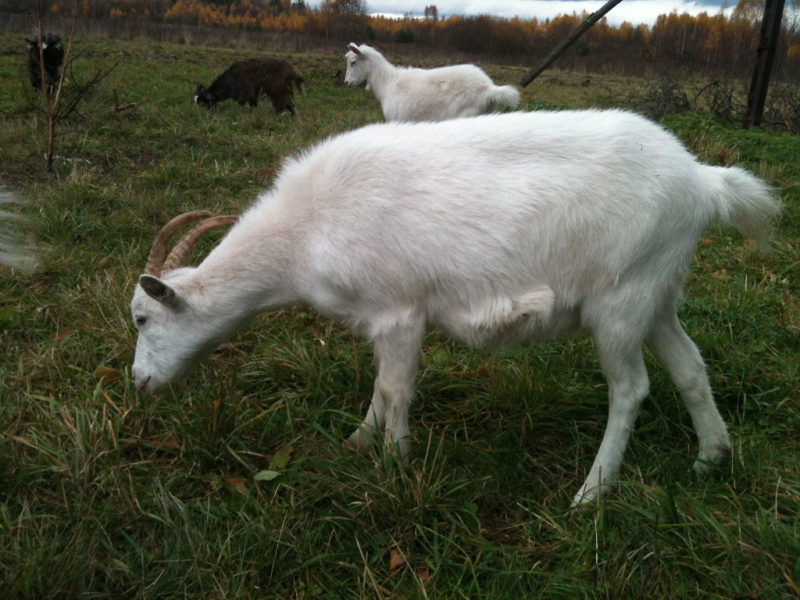 Шерстяные козы обладают большим количеством шерсти, хорошо используются в местах с холодным климатом