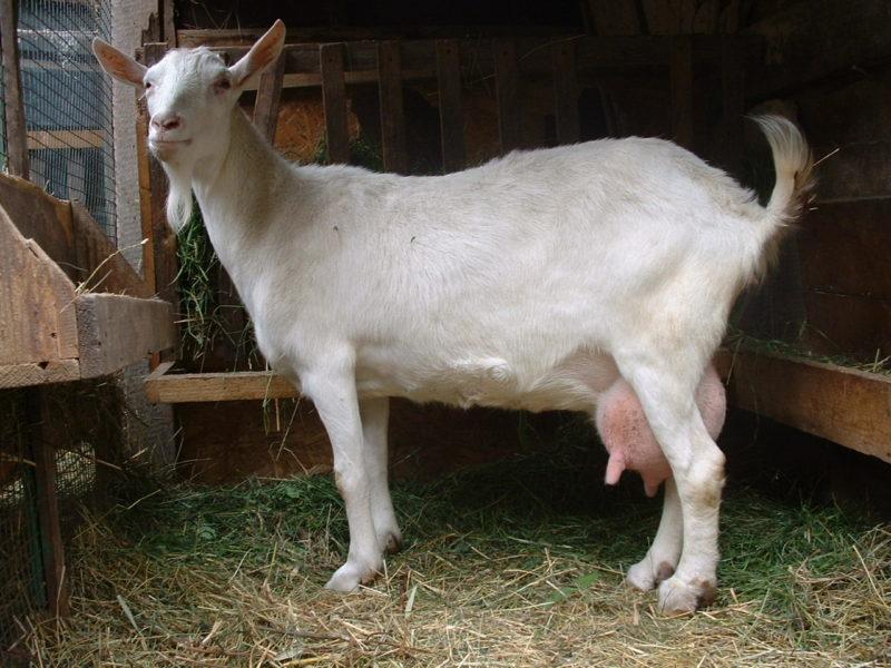 Молочные козы выдают от 6 л продукта в сутки при правильном и хорошем уходе и кормлении