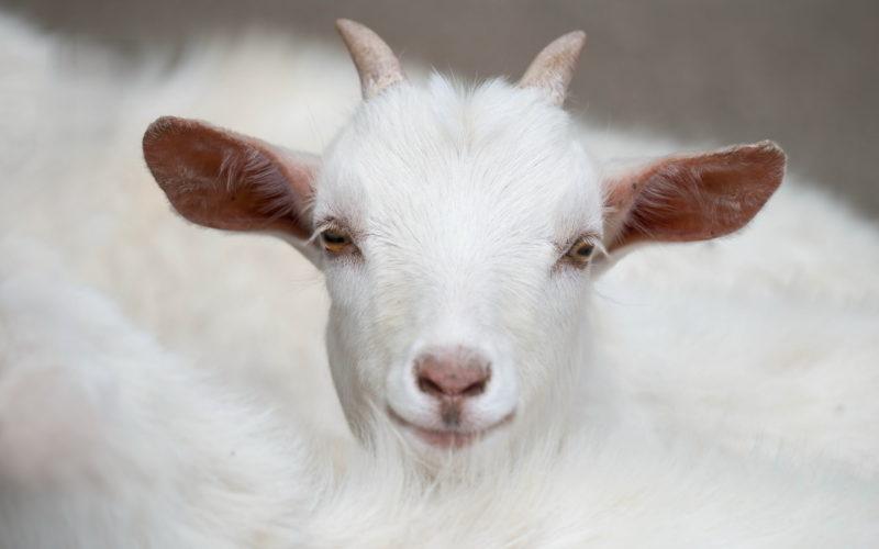 При выборе козы нужно обратить внимание на ее внешний вид