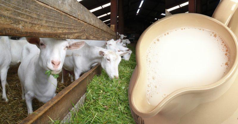 При выборе козы нужно обратить внимание на ее удой