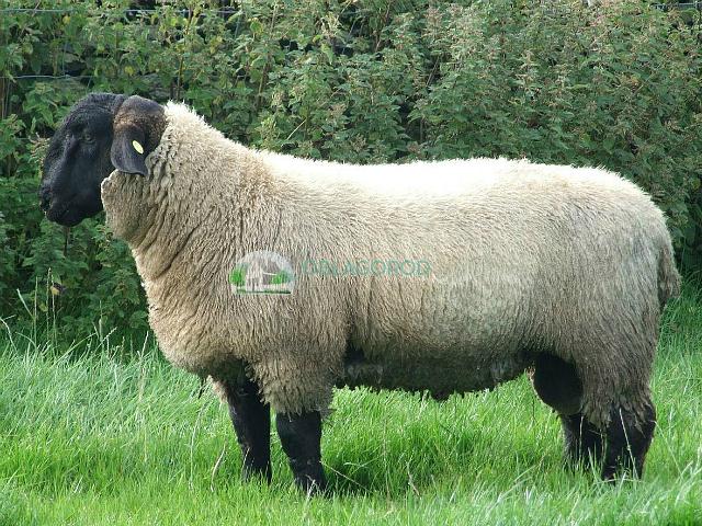 kurdychnie ovtsi