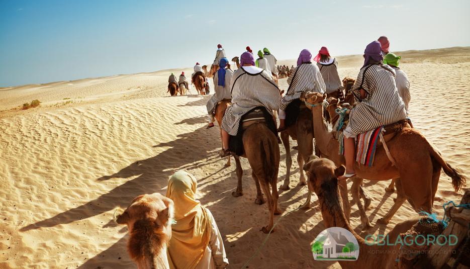 Арабские скакуны частично заменили упрямых верблюдов