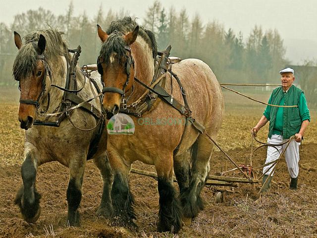 Развитие тяжеловесных коней после Средневековья