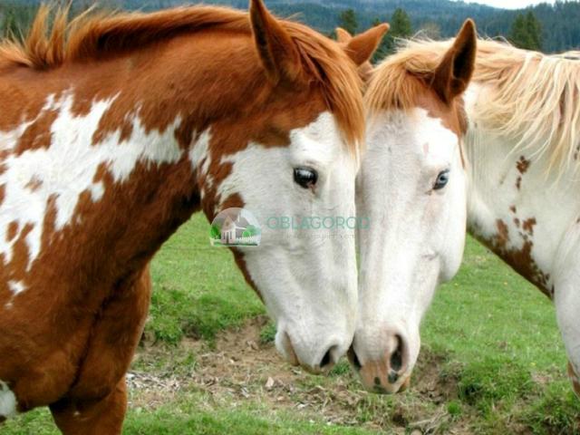 Чубарые кони