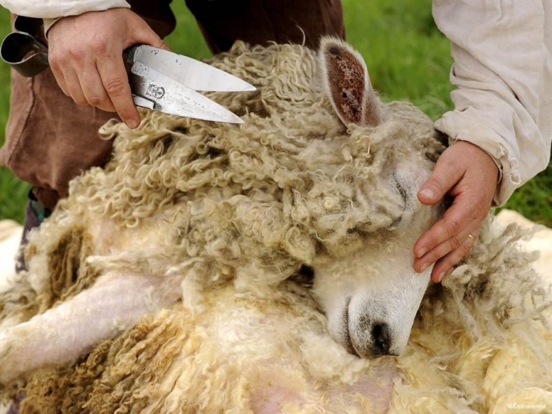 Ручной метод остригания овец