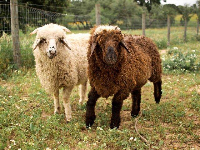 Когда осуществляется стрижка овец