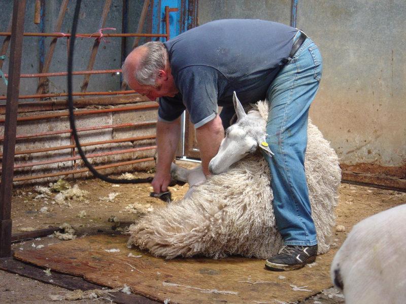 Механический метод остригания овец