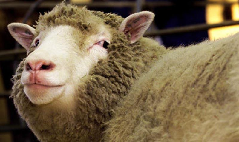 Зачем нужно стричь овец