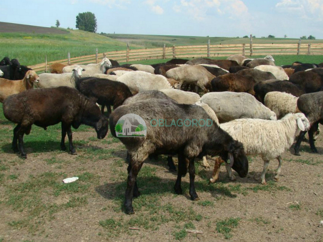 Портрет эдильбаевских овец