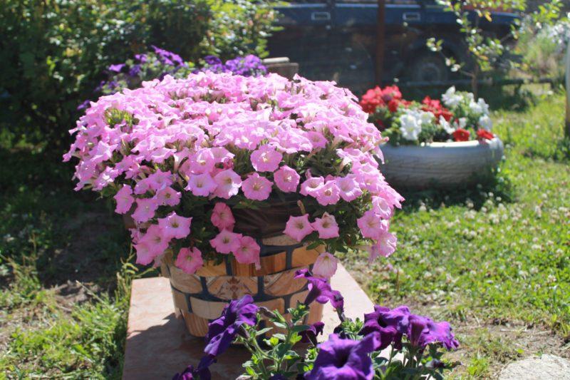 Уникальностью сорта петуний Джоконда считают очень огромное количество цветков.