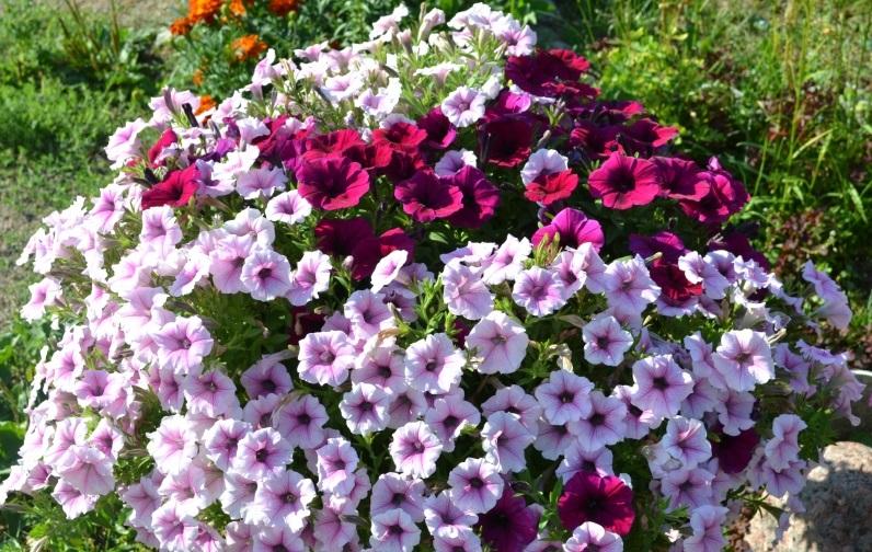 Обеспечив растению должный уход можно получить не только раннее, но и беспрерывное цветение Джоконды на целый год