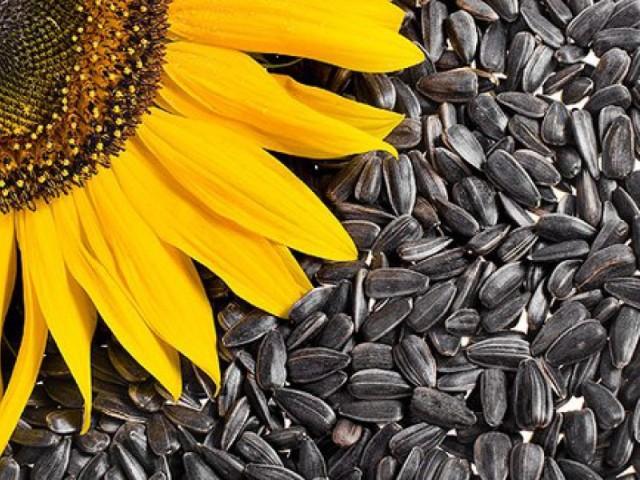 Подготовленные семена в обязательном порядке обрабатываются фунгицидами